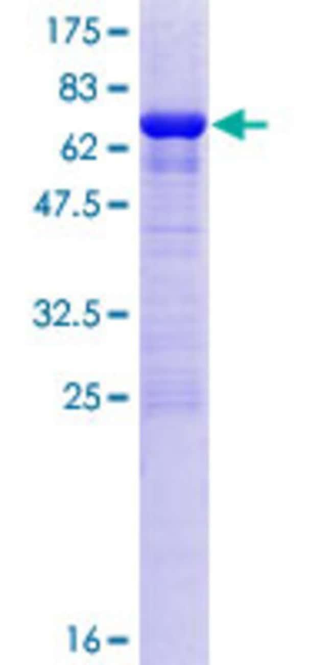 AbnovaHuman OLA1 Full-length ORF (NP_037473.3, 1 a.a. - 396 a.a.) Recombinant