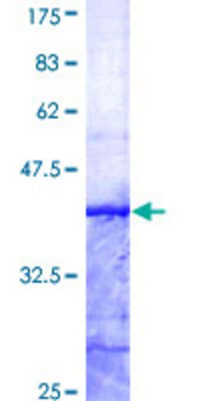 AbnovaHuman SNX12 Partial ORF (AAH20559, 53 a.a. - 159 a.a.) Recombinant