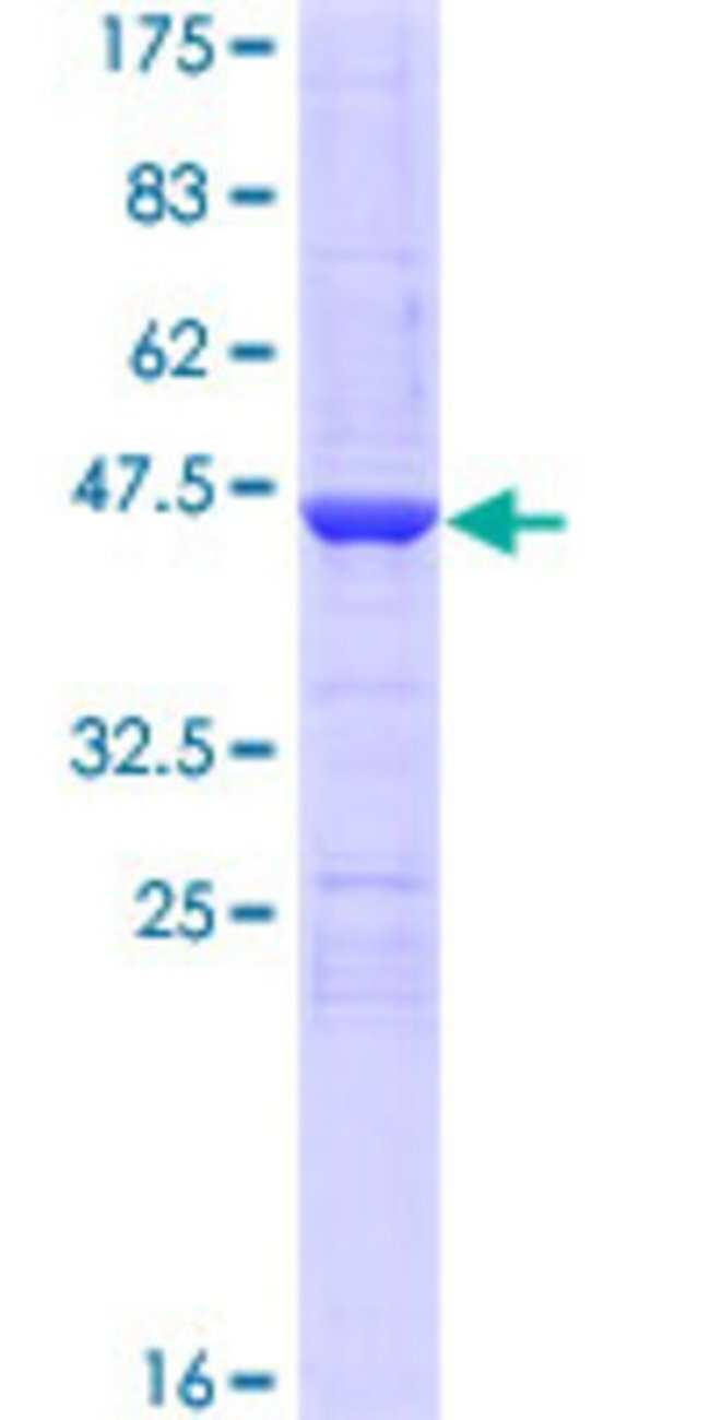AbnovaHuman NENF Full-length ORF (NP_037481.1, 1 a.a. - 172 a.a.) Recombinant