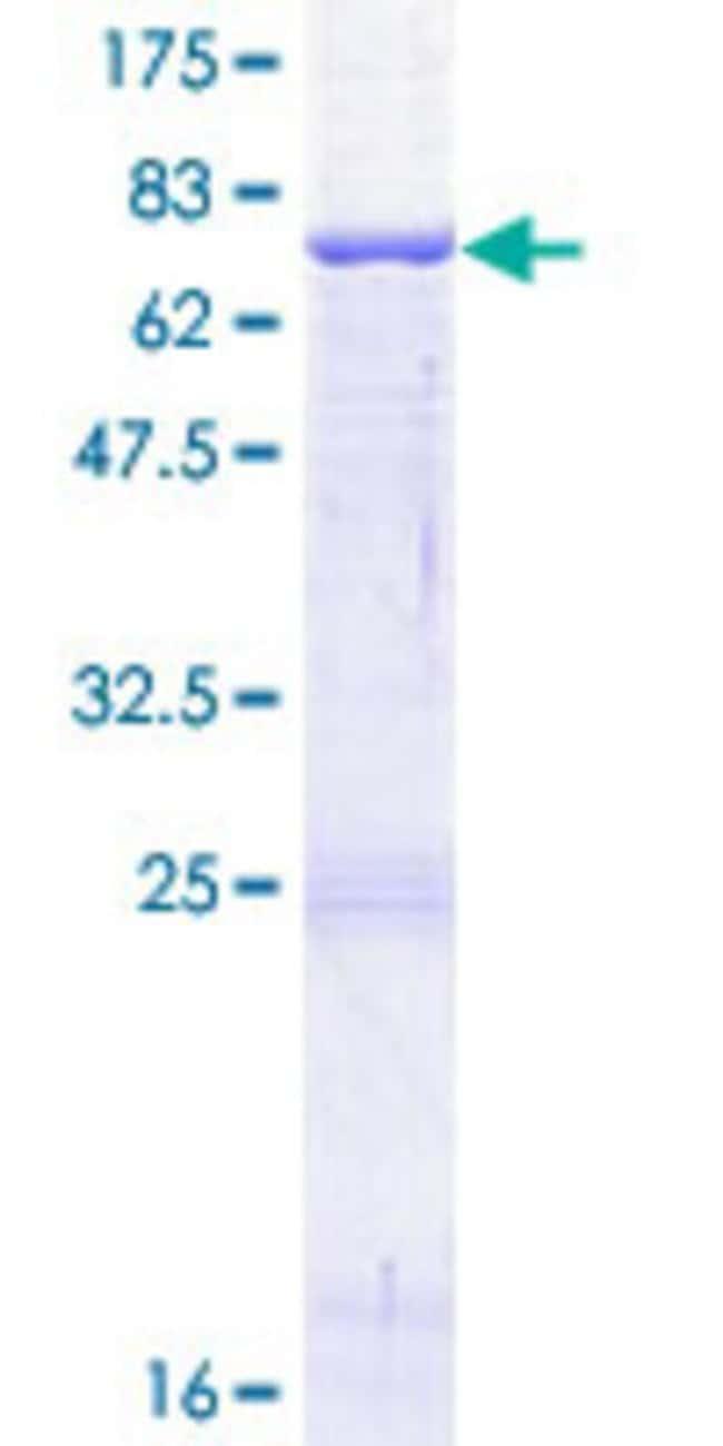 AbnovaHuman CD209 Full-length ORF (NP_066978.1, 1 a.a. - 404 a.a.) Recombinant