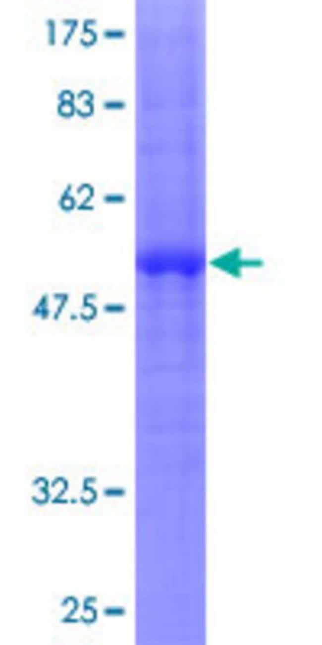 AbnovaHuman CLEC4A Full-length ORF (NP_057268.1, 1 a.a. - 237 a.a.) Recombinant