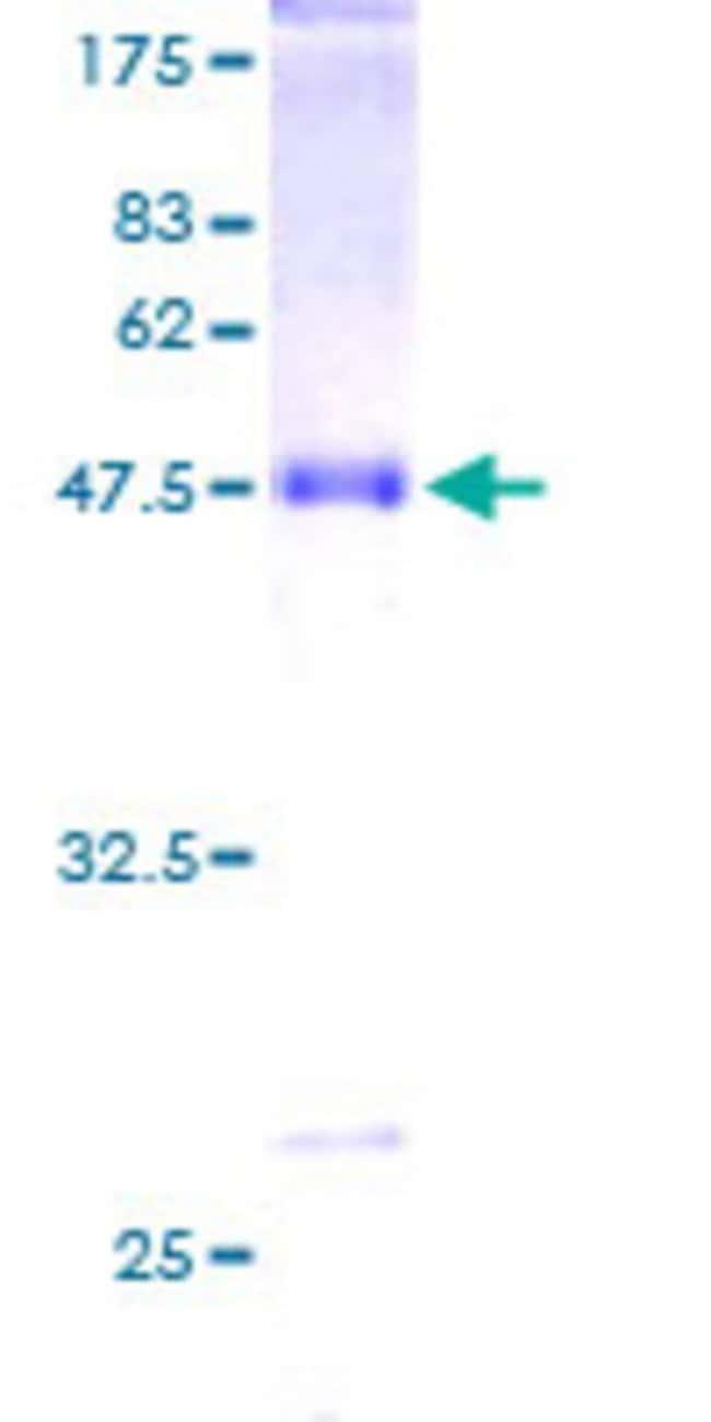 AbnovaHuman STMN3 Full-length ORF (AAH09381, 1 a.a. - 180 a.a.) Recombinant