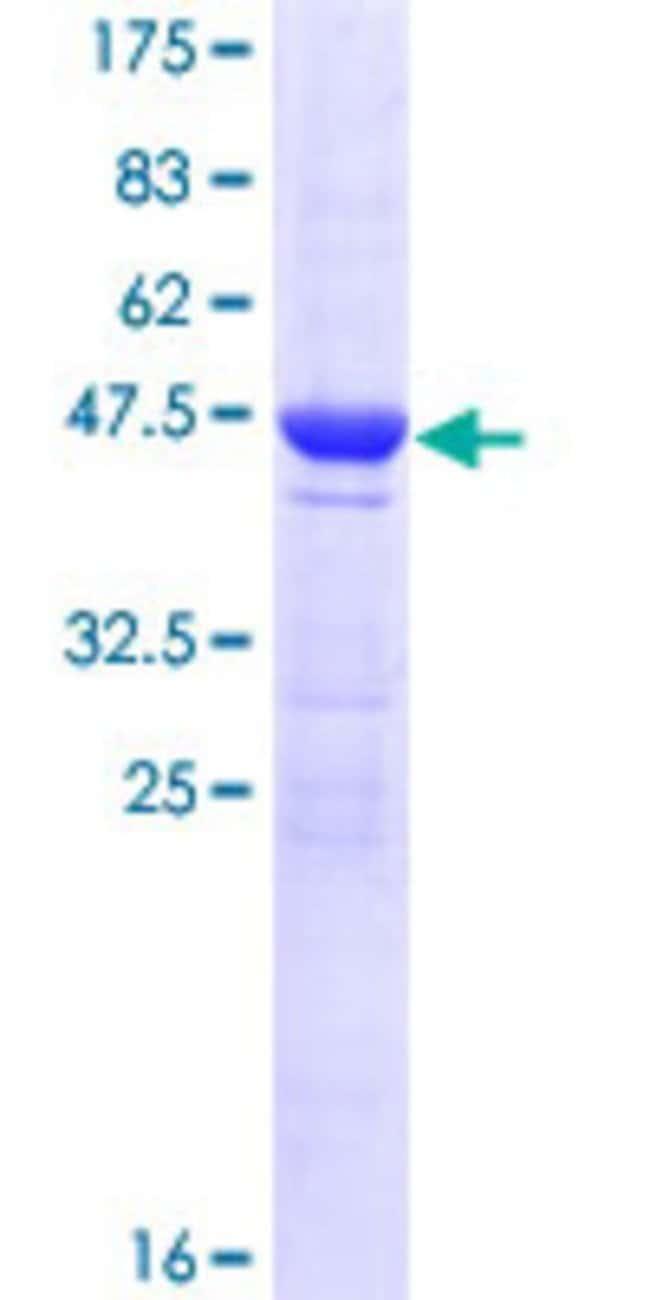 AbnovaHuman HEBP1 Full-length ORF (AAH16277.1, 1 a.a. - 189 a.a.) Recombinant