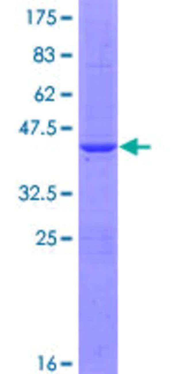 AbnovaHuman BOLA1 Full-length ORF (NP_057158.1, 1 a.a. - 137 a.a.) Recombinant