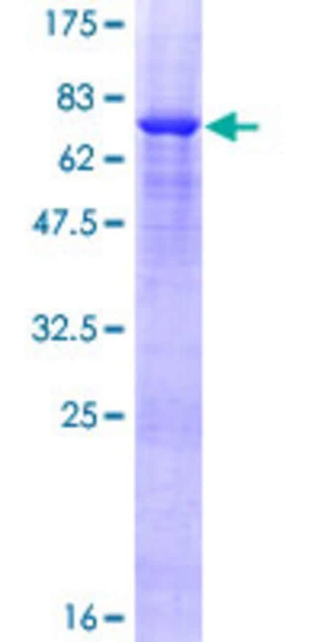 AbnovaHuman VPS36 Full-length ORF (NP_057159.2, 1 a.a. - 386 a.a.) Recombinant