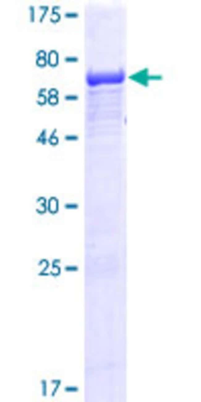 Abnova Human IFT52 Full-length ORF (NP_057088.2, 1 a.a. - 437 a.a.) Recombinant