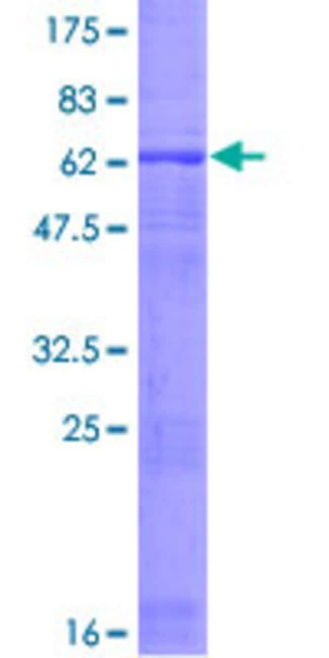 AbnovaHuman TUBD1 Full-length ORF (AAH00258.1, 1 a.a. - 398 a.a.) Recombinant