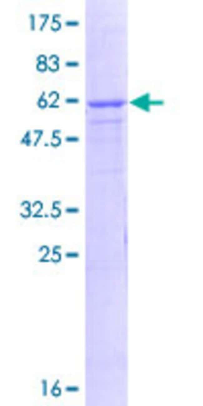 AbnovaHuman ATPBD1C Full-length ORF (NP_057385.2, 1 a.a. - 284 a.a.) Recombinant