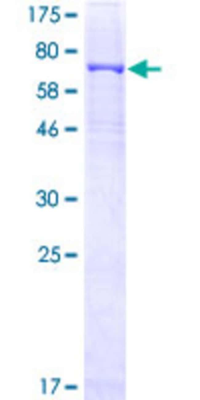 AbnovaHuman CRBN Full-length ORF (NP_057386.2, 1 a.a. - 442 a.a.) Recombinant