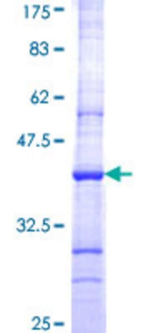 Abnova™Human CRBN Partial ORF (NP_057386, 343 a.a. - 442 a.a.) Recombinant Protein with GST-tag at N-terminal 10μg Abnova™Human CRBN Partial ORF (NP_057386, 343 a.a. - 442 a.a.) Recombinant Protein with GST-tag at N-terminal