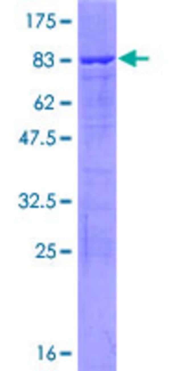 AbnovaHuman DDX47 Full-length ORF (NP_057439.2, 1 a.a. - 455 a.a.) Recombinant