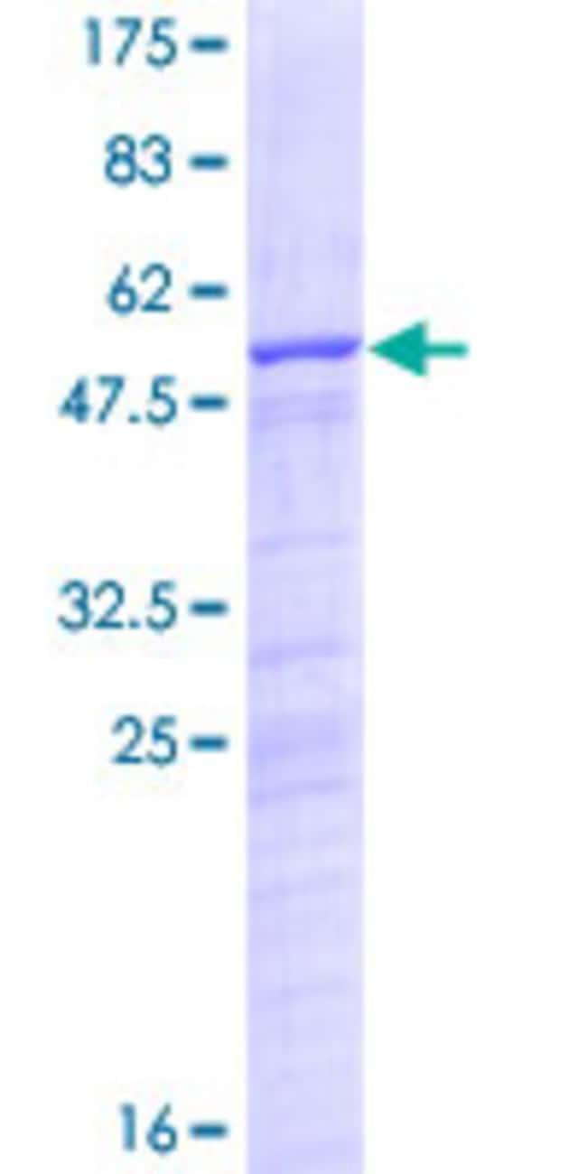 AbnovaHuman NUSAP1 Full-length ORF (NP_057443.1, 1 a.a. - 226 a.a.) Recombinant