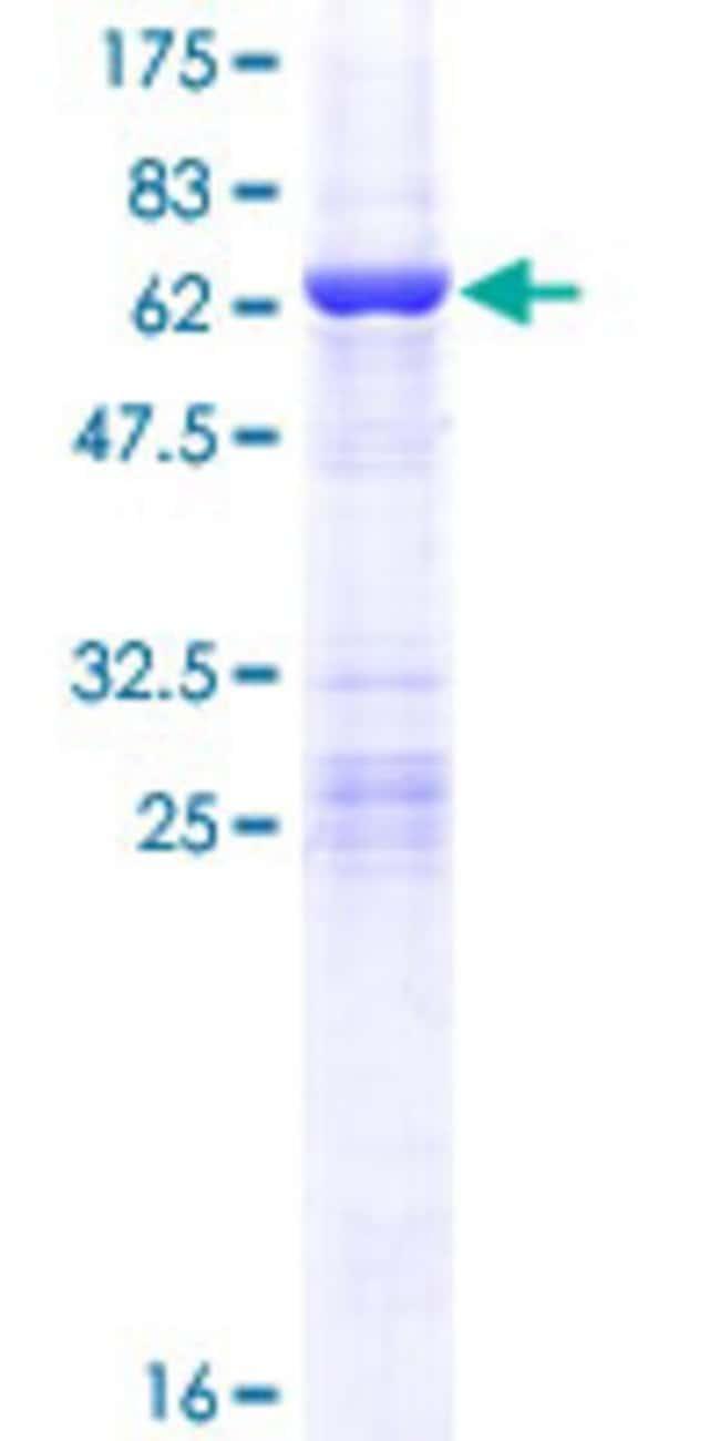 AbnovaHuman CCDC44 Full-length ORF (NP_057444.2, 1 a.a. - 297 a.a.) Recombinant