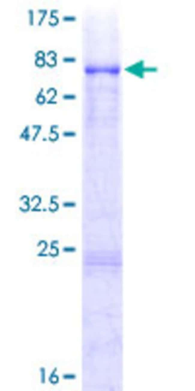 AbnovaHuman VRK3 Full-length ORF (AAH23556.1, 1 a.a. - 412 a.a.) Recombinant