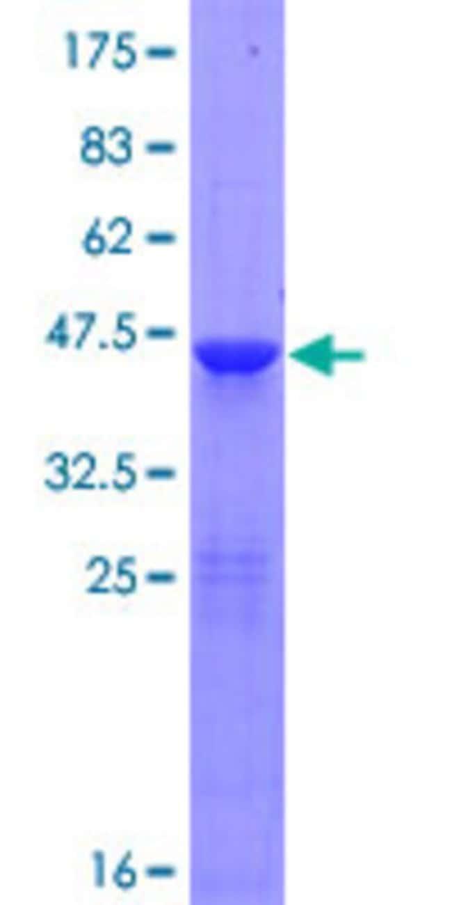 AbnovaHuman RNF181 Full-length ORF (NP_057578.1, 1 a.a. - 153 a.a.) Recombinant