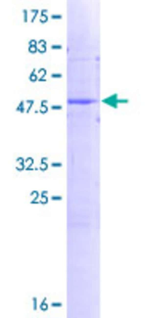 AbnovaHuman FKBP11 Full-length ORF (NP_057678.1, 1 a.a. - 201 a.a.) Recombinant