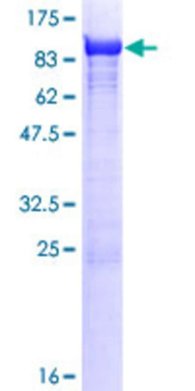 AbnovaHuman TXNDC3 Full-length ORF (NP_057700.2, 1 a.a. - 588 a.a.) Recombinant