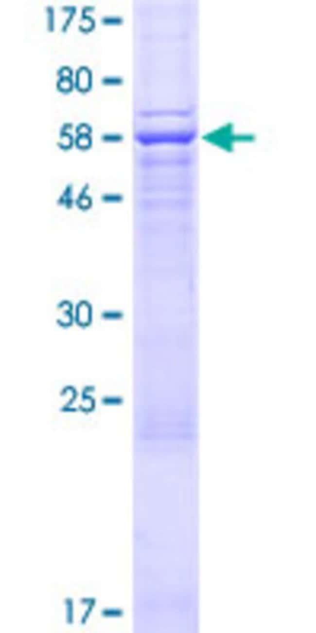 AbnovaHuman AMZ2 Full-length ORF (AAH50709.1, 1 a.a. - 360 a.a.) Recombinant