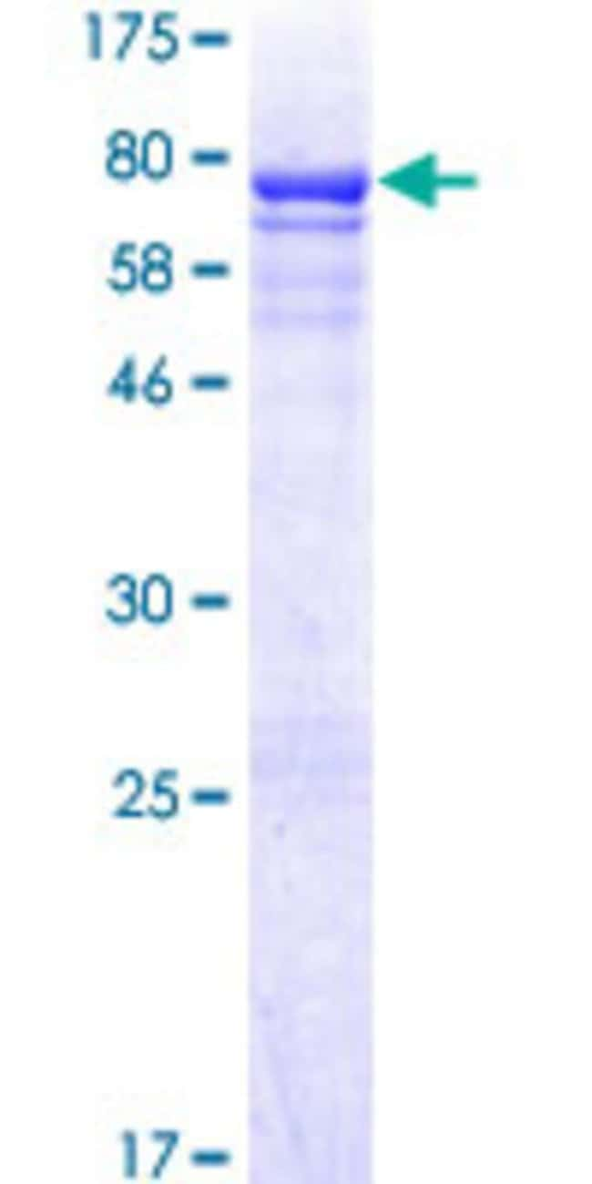 AbnovaHuman CRLF3 Full-length ORF (AAH23567.2, 1 a.a. - 442 a.a.) Recombinant