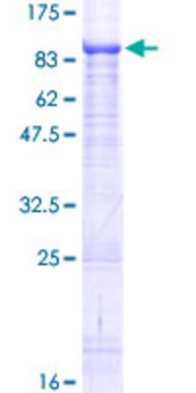 AbnovaHuman EIF3EIP Full-length ORF (NP_057175.1, 1 a.a. - 564 a.a.) Recombinant