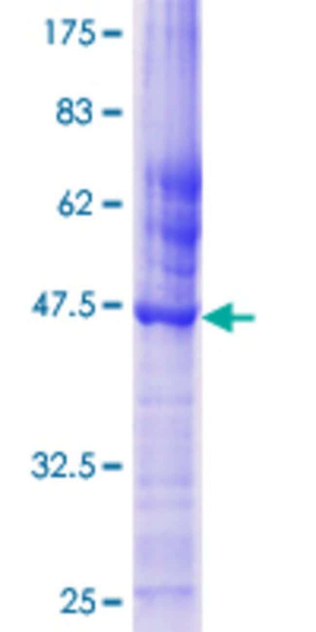 Abnova Human GULP1 Full-length ORF (AAH01103.1, 1 a.a. - 167 a.a.) Recombinant