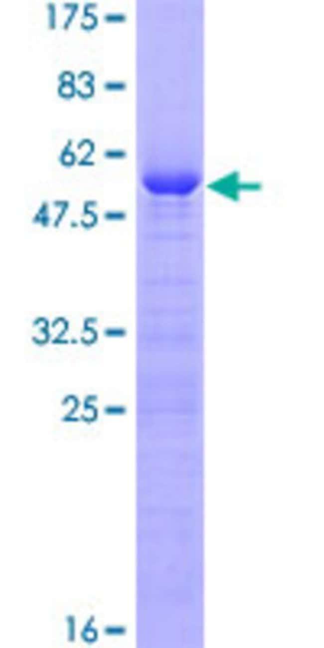 AbnovaHuman VCX3A Full-length ORF (AAH98149.1, 1 a.a. - 166 a.a.) Recombinant