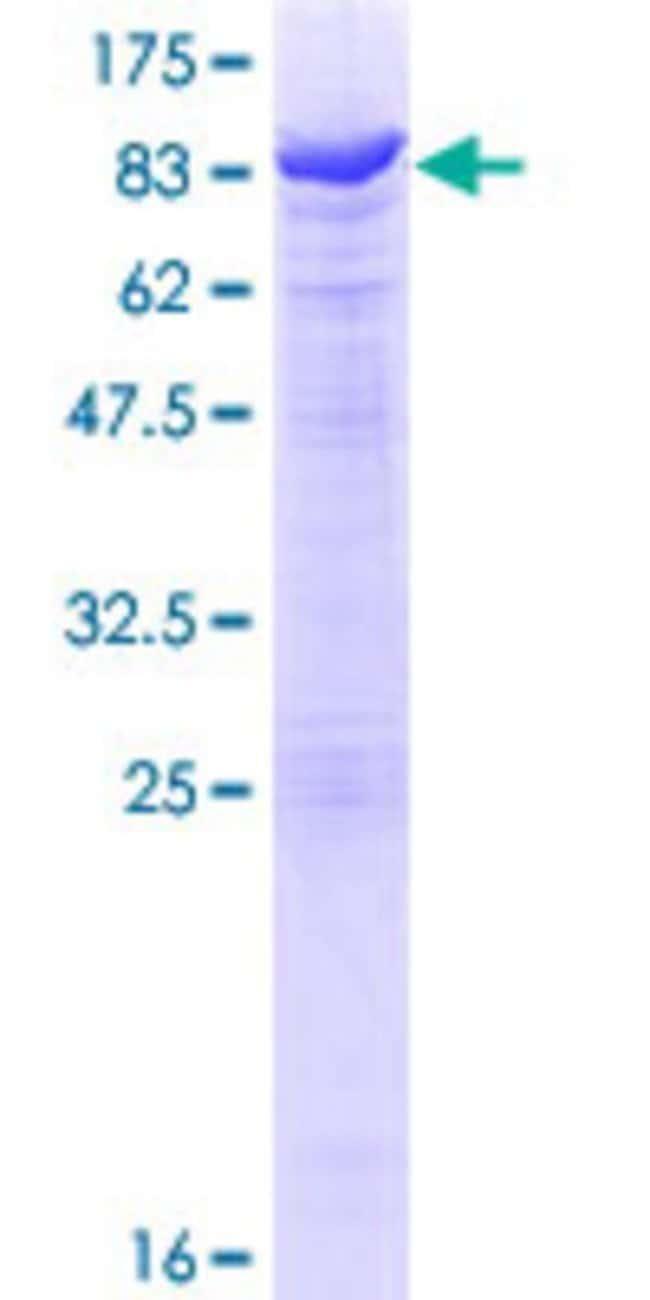 AbnovaHuman TH1L Full-length ORF (NP_945327.1, 1 a.a. - 590 a.a.) Recombinant