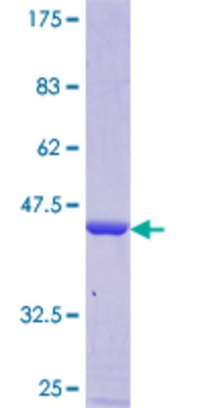 AbnovaHuman C14orf129 Full-length ORF (NP_057556.2, 1 a.a. - 139 a.a.)
