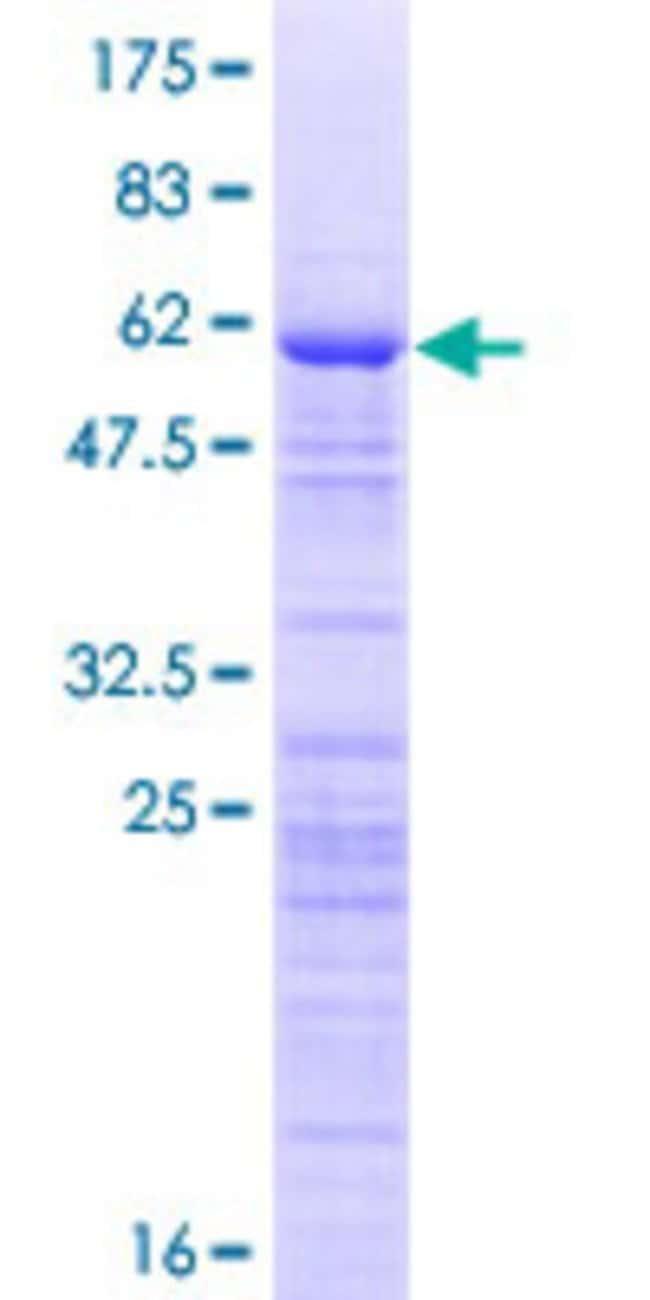 AbnovaHuman ZCCHC17 Full-length ORF (NP_057589.2, 1 a.a. - 241 a.a.) Recombinant