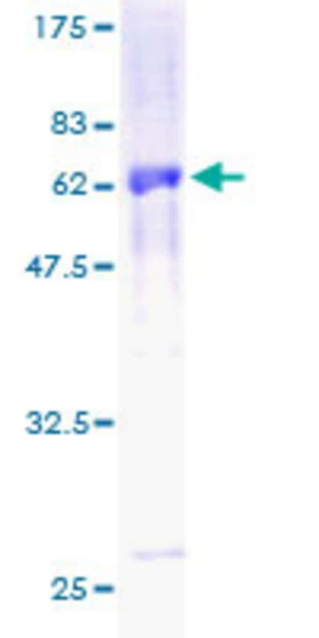 AbnovaHuman MBIP Full-length ORF (AAH05197, 1 a.a. - 344 a.a.) Recombinant