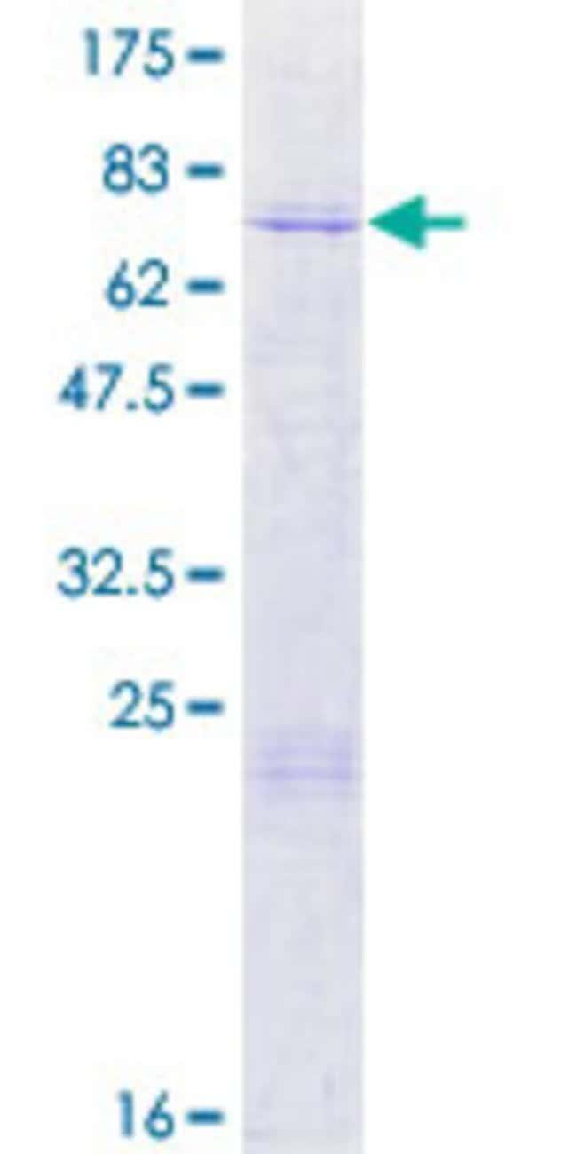 AbnovaHuman ARMCX3 Full-length ORF (NP_057691.1, 1 a.a. - 379 a.a.) Recombinant