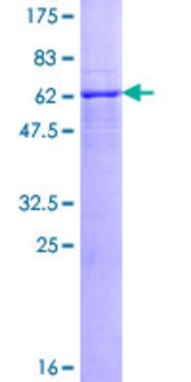 AbnovaHuman MIR16 Full-length ORF (NP_057725.1, 1 a.a. - 331 a.a.) Recombinant