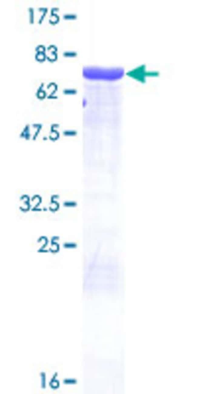 AbnovaHuman AZIN1 Full-length ORF (NP_056962.2, 1 a.a. - 448 a.a.) Recombinant