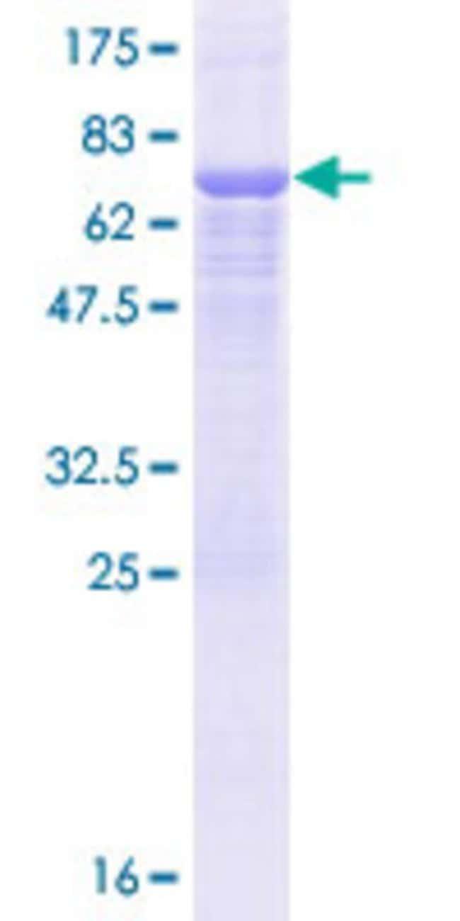 AbnovaHuman ERGIC3 Full-length ORF (NP_057050.1, 1 a.a. - 383 a.a.) Recombinant