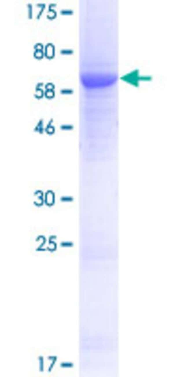 AbnovaHuman UPB1 Full-length ORF (AAI39841.1, 1 a.a. - 384 a.a.) Recombinant