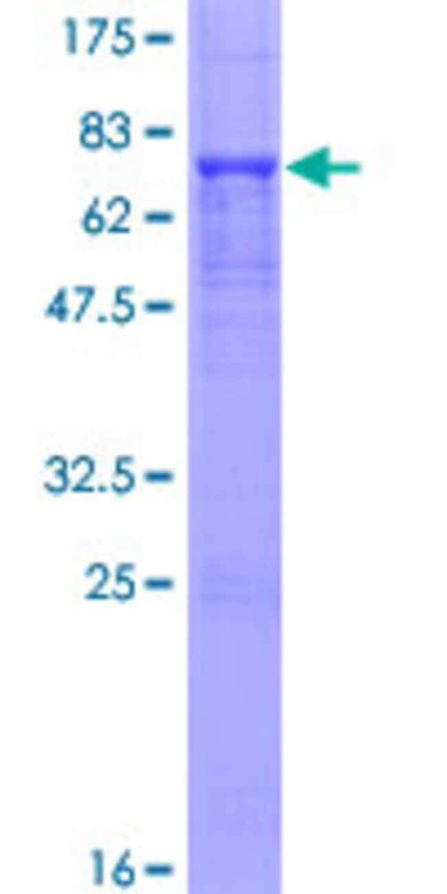 Abnova™Human INPP5K Full-length ORF (NP_057616.2, 1 a.a. - 448 a.a.) Recombinant Protein with GST-tag at N-terminal 10μg Abnova™Human INPP5K Full-length ORF (NP_057616.2, 1 a.a. - 448 a.a.) Recombinant Protein with GST-tag at N-terminal