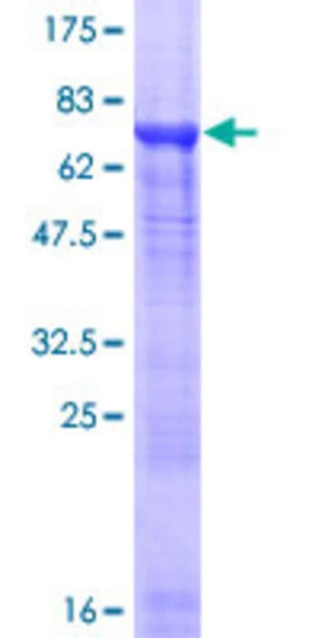 AbnovaHuman TUBA8 Full-length ORF (NP_061816.1, 1 a.a. - 449 a.a.) Recombinant