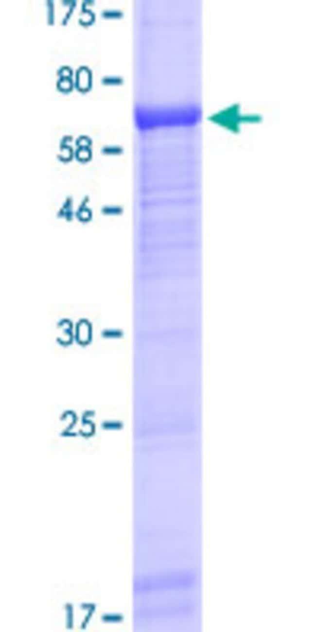 AbnovaHuman UBASH3A Full-length ORF (AAH28138.1, 1 a.a. - 451 a.a.) Recombinant