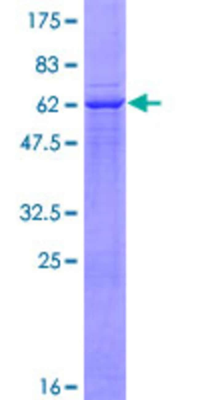 AbnovaHuman ADAM22 Full-length ORF (AAH36029.1, 1 a.a. - 342 a.a.) Recombinant