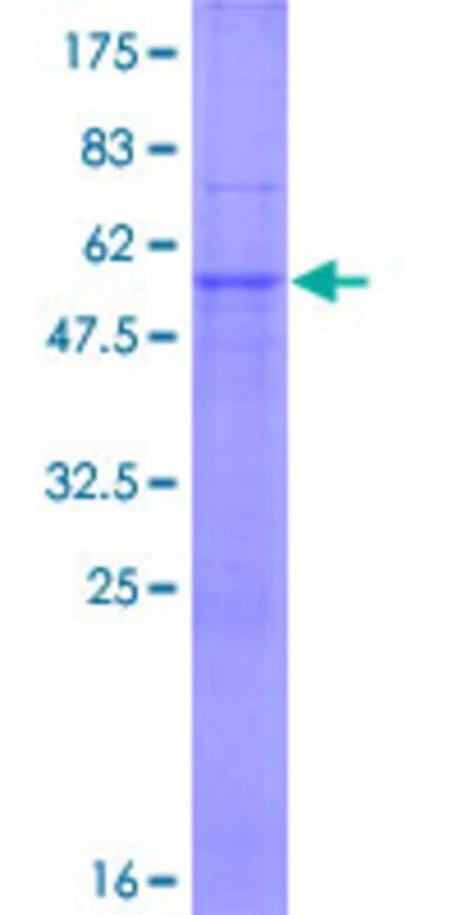 AbnovaHuman TRIM34 Full-length ORF (NP_569073.1, 1 a.a. - 243 a.a.) Recombinant