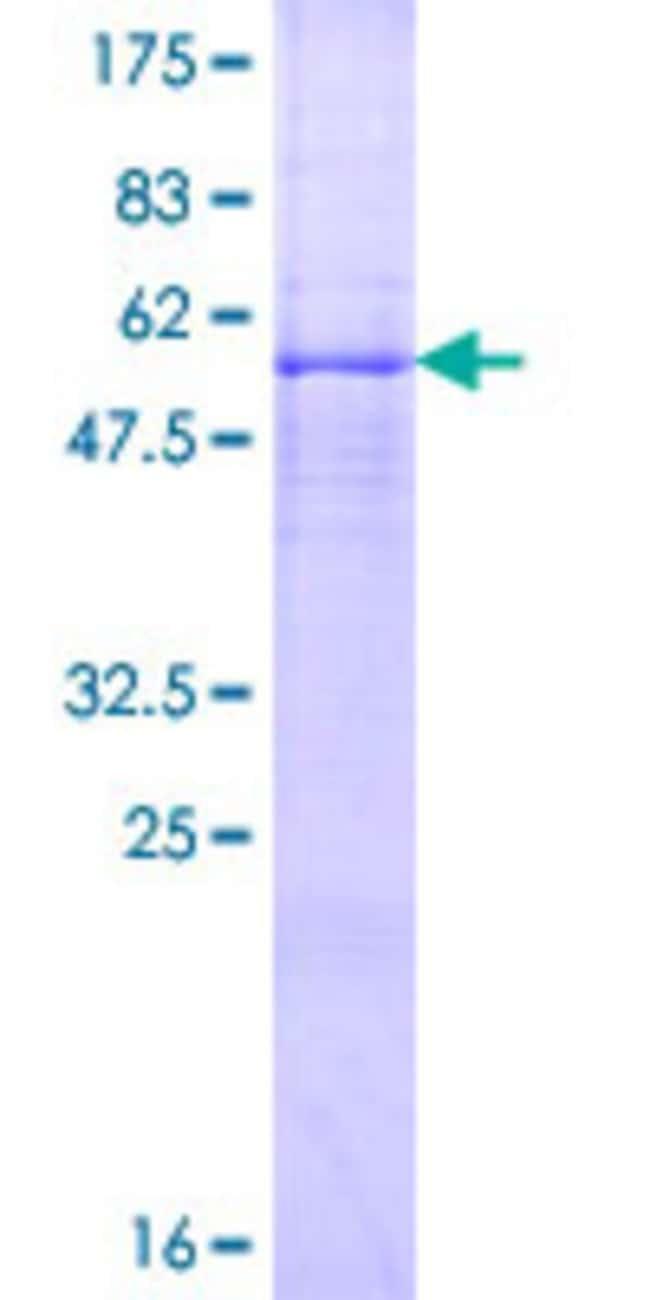 AbnovaHuman A4GALT Full-length ORF (NP_059132.1, 1 a.a. - 353 a.a.) Recombinant