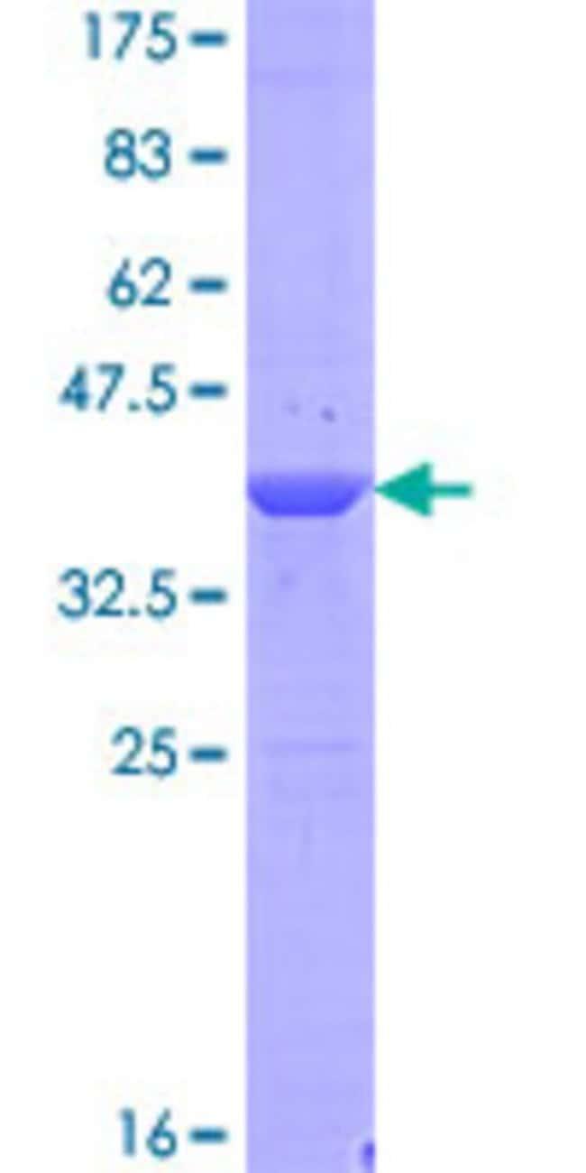 AbnovaHuman BRWD1 Full-length ORF (NP_001007247.1, 1 a.a. - 120 a.a.) Recombinant
