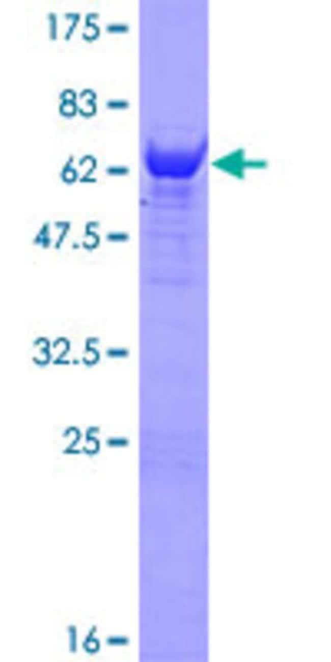AbnovaHuman NANS Full-length ORF (NP_061819.2, 1 a.a. - 359 a.a.) Recombinant