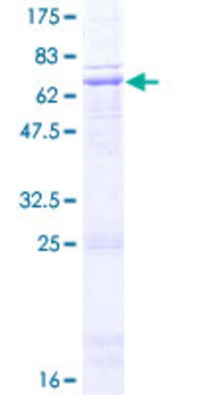 AbnovaHuman WNT4 Full-length ORF (NP_110388.2, 1 a.a. - 351 a.a.) Recombinant