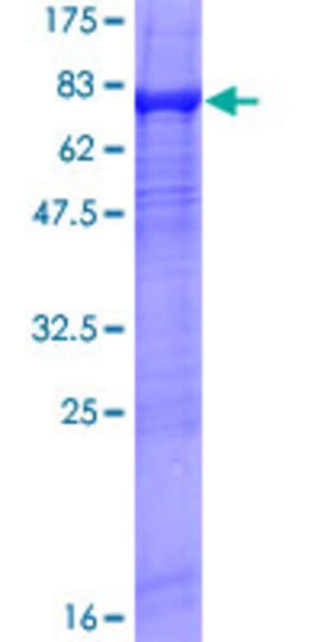 AbnovaHuman XRN1 Full-length ORF (AAH48104.1, 1 a.a. - 459 a.a.) Recombinant