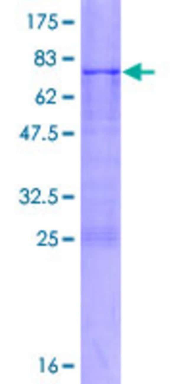 AbnovaHuman ADAMTSL4 Full-length ORF (AAH27478.1, 1 a.a. - 424 a.a.) Recombinant