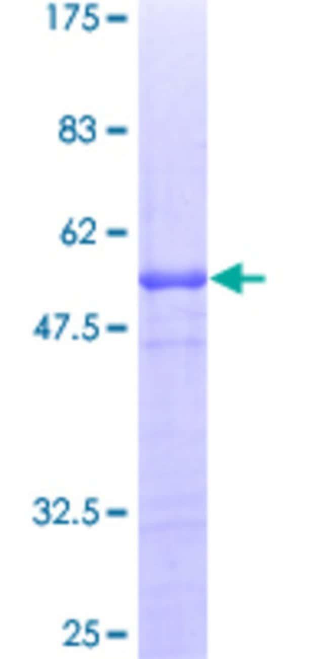 AbnovaHuman APBB1IP Full-length ORF (AAH35636, 1 a.a. - 172 a.a.) Recombinant