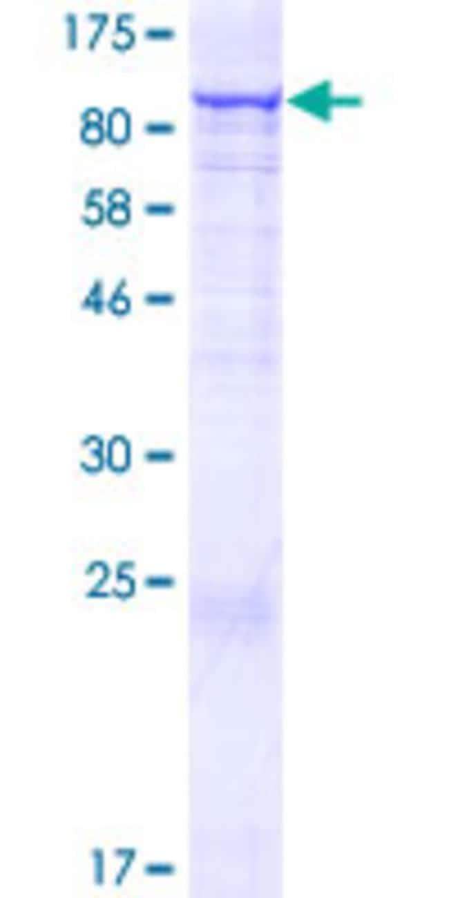 AbnovaHuman CCDC93 Full-length ORF (AAH93018.1, 1 a.a. - 631 a.a.) Recombinant