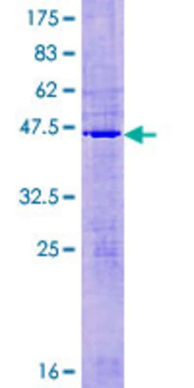 AbnovaHuman MRPL50 Full-length ORF (NP_061924.1, 1 a.a. - 158 a.a.) Recombinant