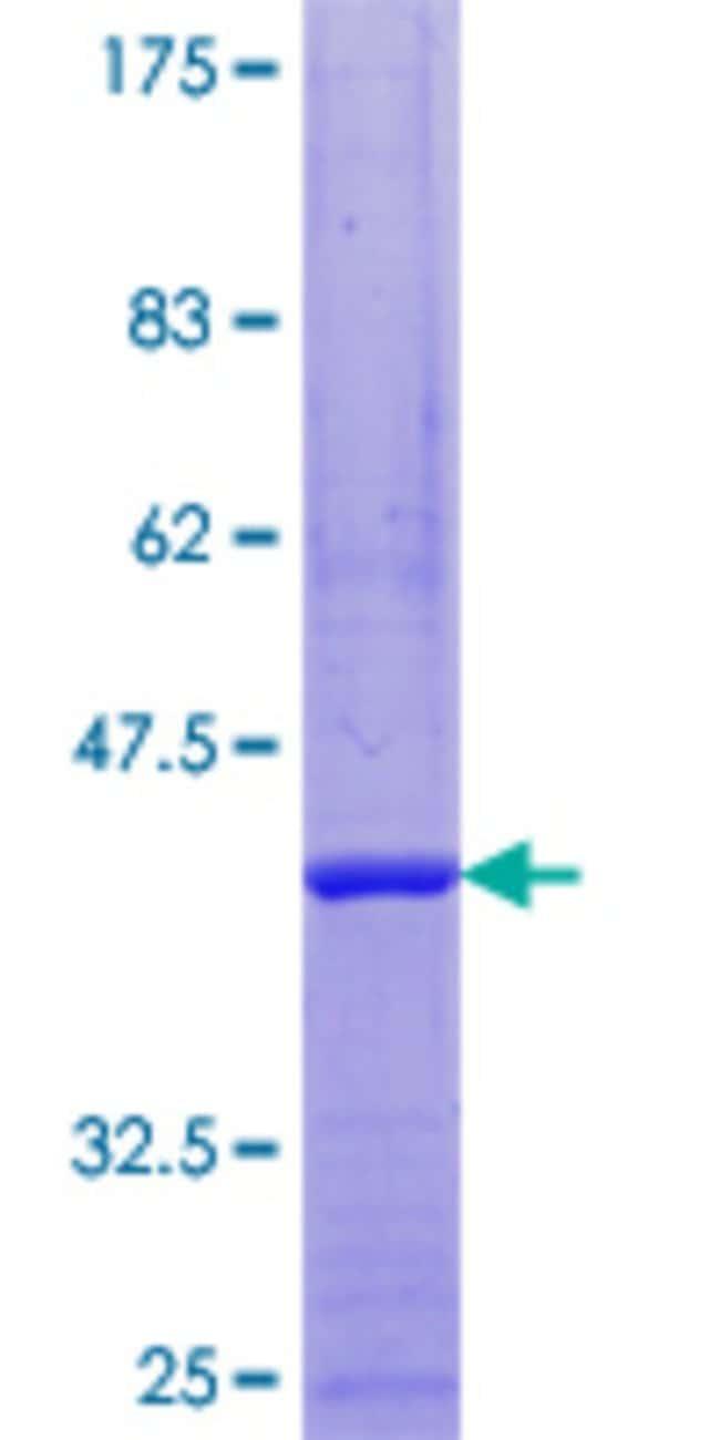 AbnovaHuman RRN3 Full-length ORF (ENSP00000219758, 1 a.a. - 106 a.a.) Recombinant